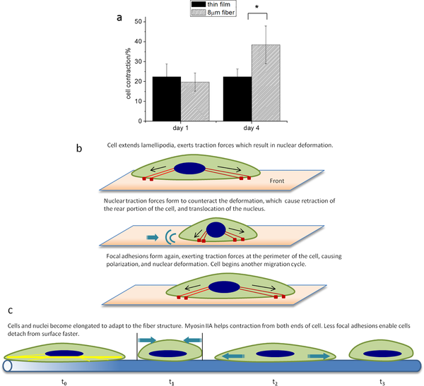 Influence of fiber alignment on cells and tissue regeneration